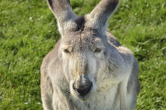 Closeup of Australian Grey Kangaroo staring straight back Royalty Free Stock Image
