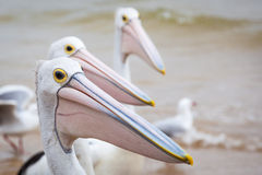 Closeup of Australian Pelican. With more pelicans in the background stock photo