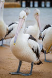 Closeup of Australian Pelican. With additional pelicans in the background stock photos