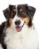 Closeup of Australian Shepherd Dog Royalty Free Stock Image