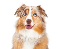 Closeup of Australian Shepherd Dog Sitting Royalty Free Stock Image
