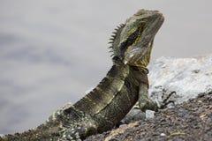 Closeup of Australian Water Dragon Stock Image