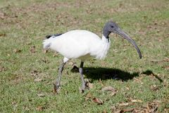 Closeup of an Australian White Ibis walking Royalty Free Stock Images