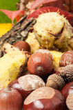 Closeup of autumn acorn and horse chestnuts Stock Photography