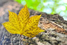 Autumn. Maple leaf. Royalty Free Stock Images