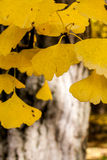 Closeup of Autumn Gingko Leaves Royalty Free Stock Photos