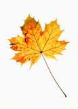 Closeup of Autumn Leaf Royalty Free Stock Photo