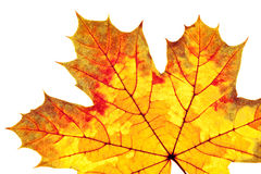 Closeup of Autumn Leaf Stock Photography