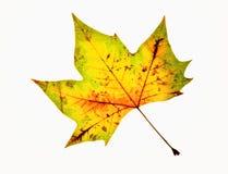 Closeup of Autumn Leaf - Isolated on White Royalty Free Stock Photos