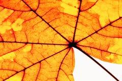 Closeup of Autumn Leaf - Isolated on White Stock Photo
