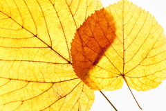 Closeup of Autumn Leafs - Isolated on White Stock Photography