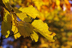Closeup of autumn leaves Stock Images