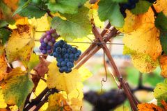 Dundee Hills Vineyards in Oregon. Closeup of autumn leaves with a few grapes remaining on vines in a vineyard on the rolling Dundee Hills in Oregon`s Wine Stock Photography