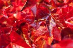 Closeup on Autumn Leaves. Shalow Focus. Closeup on Ruby Red colored Autumn Leaves. Shalow Focus Stock Images