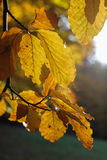 Closeup of autumn leaves Royalty Free Stock Images