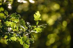 Closeup autumn oak tree stock photos