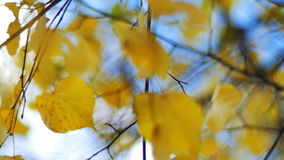 Closeup autumn painted leaves on the wind with blue sky background stock video footage