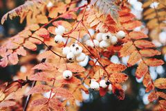 Closeup of autumn red colored leaves and white berries of Chinese rowan tree, Sorbus koehneana in nature. Selective. Closeup of autumn red colored leaves and stock photo
