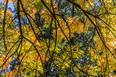 Closeup of Autumn Tree Branches and Leaves Stock Photography