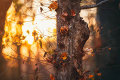 Closeup of an autumn tree at sunset Stock Images
