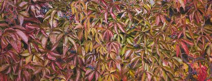 Closeup of Autumn Wild colourful Grape leaves,Fall Season Halloween Background, banner royalty free stock photography
