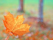 Closeup autumn yellow leaf of a maple on a blurred background of. Tree trunks with bokeh royalty free stock photo