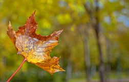 Closeup autumn yellow leaf of a maple on a blurred background of. Tree trunks with bokeh stock image