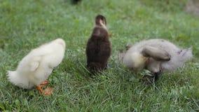Closeup av ankungar som gör ren deras fjäder på ett grönt gräs i en parkera stock video