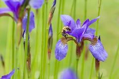 Closeup av apishonungbiet som framme besöker den sibirian irins för blommande purpurfärgad irissibirica i vår av naturlig grön ba Arkivfoton