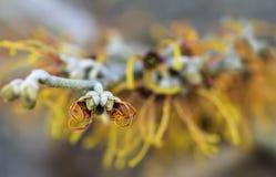 Closeup av att blomma Jelena Witch Hazel Arkivfoto