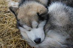 Closeup av att sova den alaskabo malamuten Arkivbild