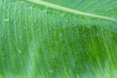 Closeup av bakgrund för abstrakt begrepp för bananbladtextur Arkivbilder