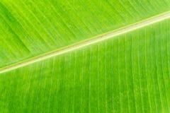 Closeup av bakgrund för abstrakt begrepp för bananbladtextur Arkivfoton