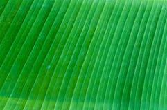 Closeup av bakgrund för abstrakt begrepp för bananbladtextur, nytt grönt blad Royaltyfri Bild