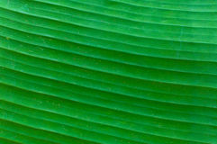 Closeup av bakgrund för abstrakt begrepp för bananbladtextur, nytt grönt blad Arkivfoton