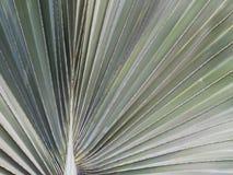 Closeup av bakgrund för modell för textur för palmettobladabstrakt begrepp royaltyfri foto