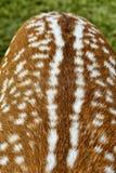 Closeup av baksida för hjort` s royaltyfria bilder
