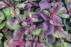 Closeup av Begonia Leaves royaltyfri fotografi