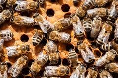 Closeup av bin p? honungskakan i bikupan, bikupa, selektiv fokus arkivfoton