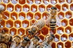 Closeup av bin p? honungskakan i bikupan, bikupa, selektiv fokus royaltyfri foto