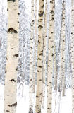 Closeup av björktrees i en snöig skog Arkivfoto