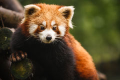 Closeup av björnen för röd panda som poseing i träd arkivfoto