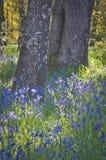 Closeup av blåa Camas vildblommor som blommar under ekarna i mjukt solljus Arkivbild