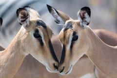 Closeup av blackfaced impala två Royaltyfria Bilder