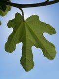 Closeup av bladet av en fikonträd på tillbaka ljus Arkivfoto