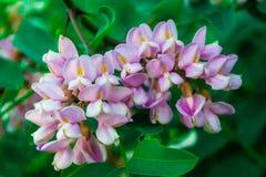 Closeup av blomman av akacian royaltyfri fotografi