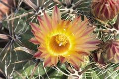 Closeup av blomman för Arizona trummakaktus royaltyfri foto