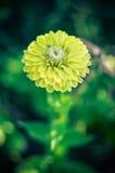 Closeup av blomman för rundagulingzinnia i en trädgård med gröna sidor royaltyfria foton