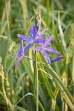 Closeup av Camas oavkortad blom för purpurfärgade CamassiaLeichtlinii blommor Arkivbilder