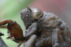Closeup av cikadan Shell Hanging Onto ett träd royaltyfri bild